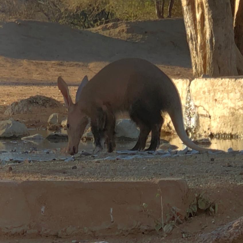 Aardvark Namibia