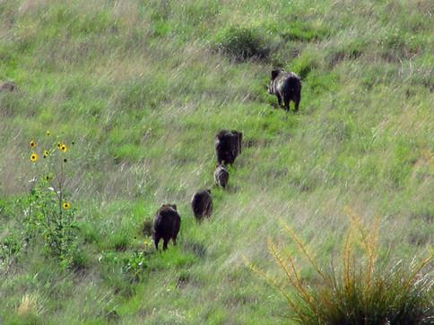 Javelina Hunting On San Carlos Arizona