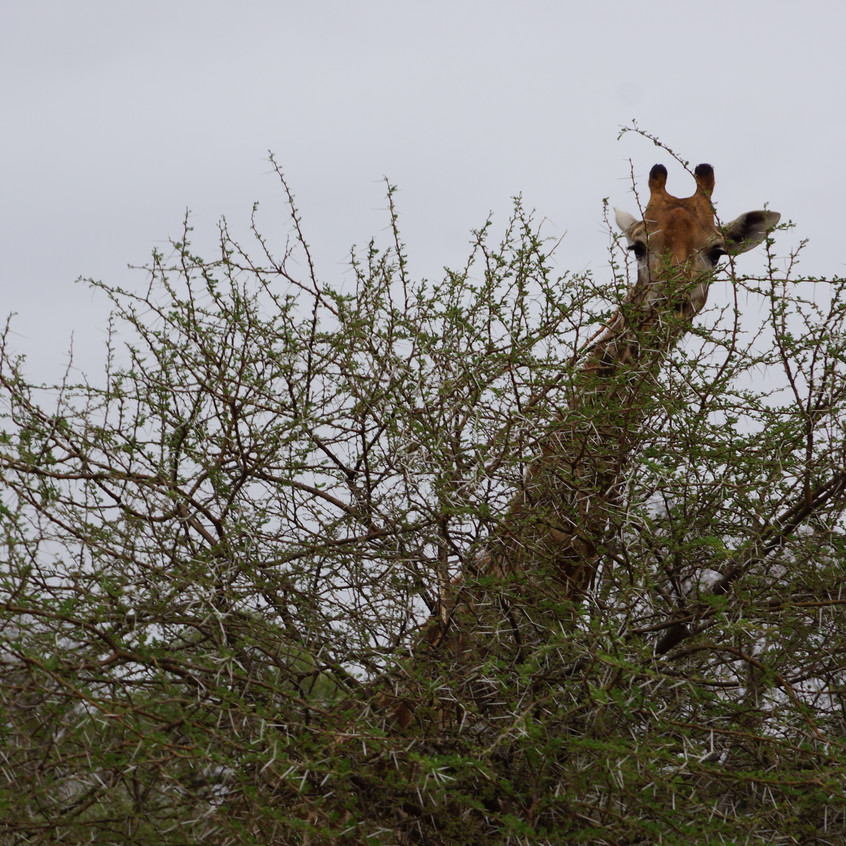 Game Drive Giraffe within Kruger National Park South Africa Ranchero Safaris Limpopo
