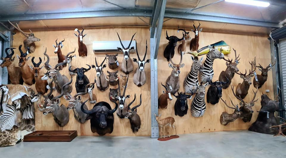 We just finished a big consignment of african animals. They filled the whole back of a truck!  If you are looking for someone to mount your trophy or tan a skin give us a call 0412979295 or message.  Cape tanning also available.  Good hunting to you all. Visit us at www.downundertaxidermy.com