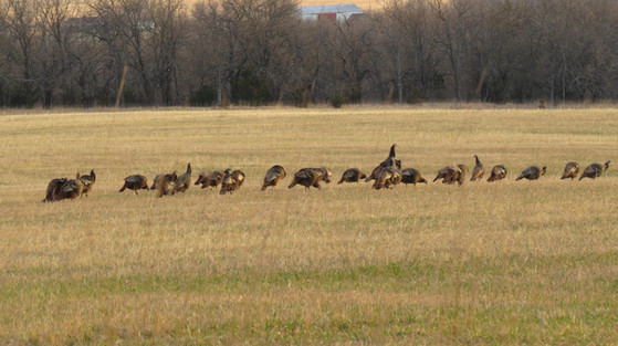 Wild Turkey Hunting Kansas