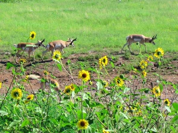 Pronghorn Antelope On San Carlos Arizona