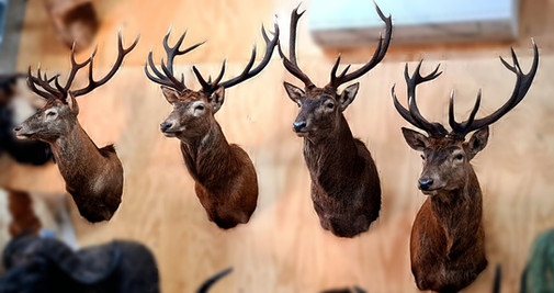 Queensland Red Stags - Downunder Taxidermy Studio