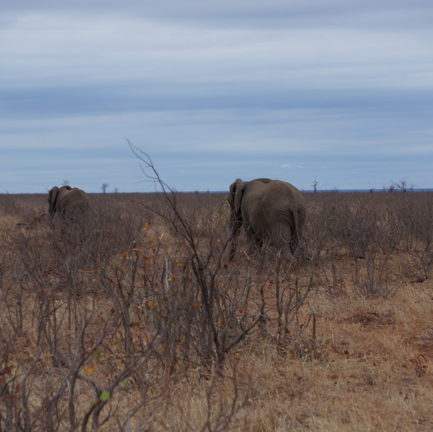 Watching a herd of elephants disappear within Kruger National Park South Africa Ranchero Safaris Limpopo