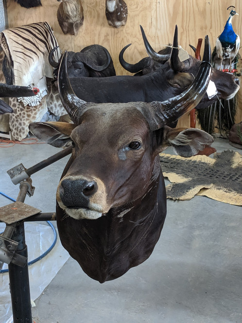 Downunder Taxidermy Studio Australia