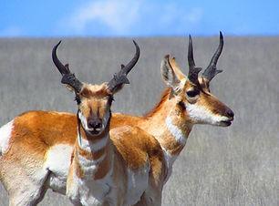 San Carlos Pronghorn Antelope Draw Lottery