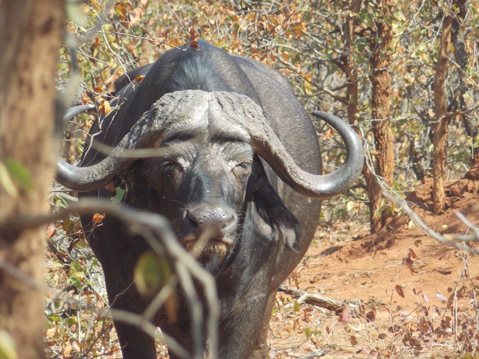 Limpopo South Africa Cape Buffalo Hunting Report   rt