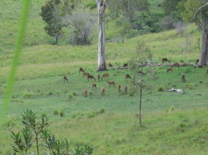 Red Deer Hunting Queensland Australia