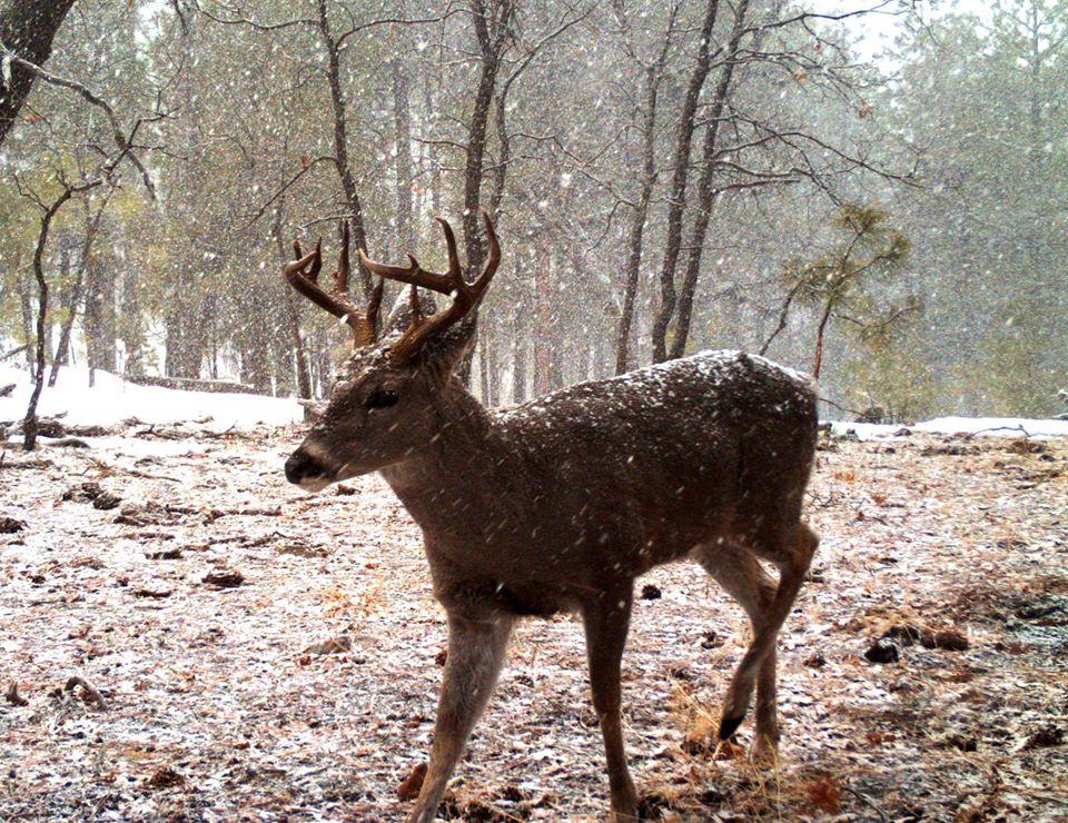 Trophy Coues Deer Rut On San Carlos Apache Tribe Recreation & Wildlife