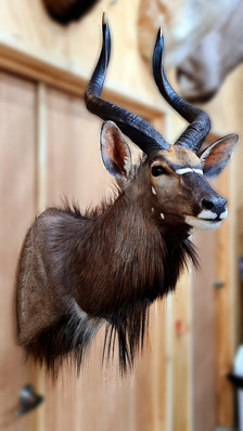 Nyala Shoulder Mount By Taxidermist Markus Michalowitz