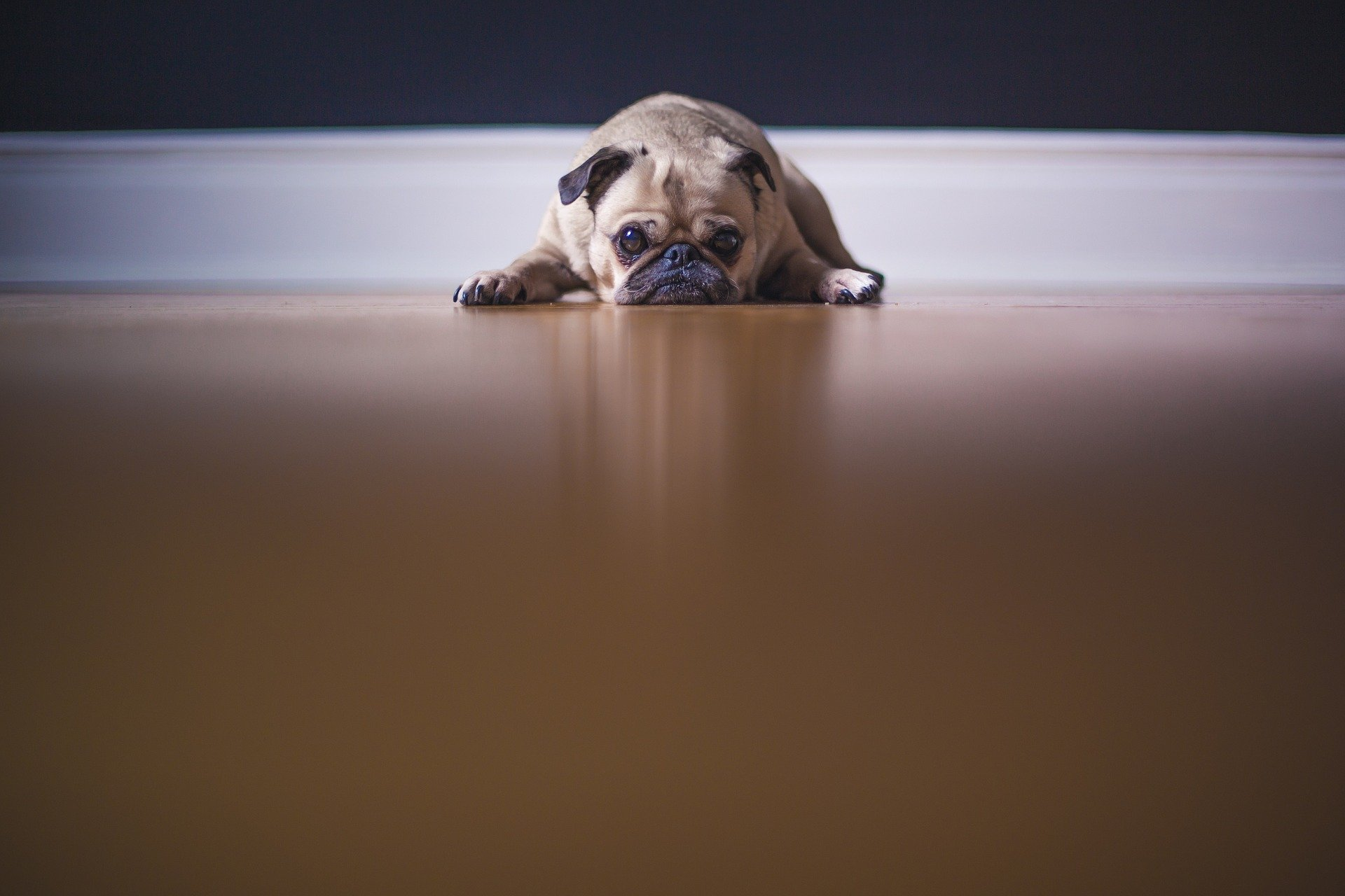 Pandemic Pup
