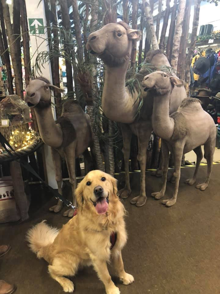 Golden retrievers love Christmas