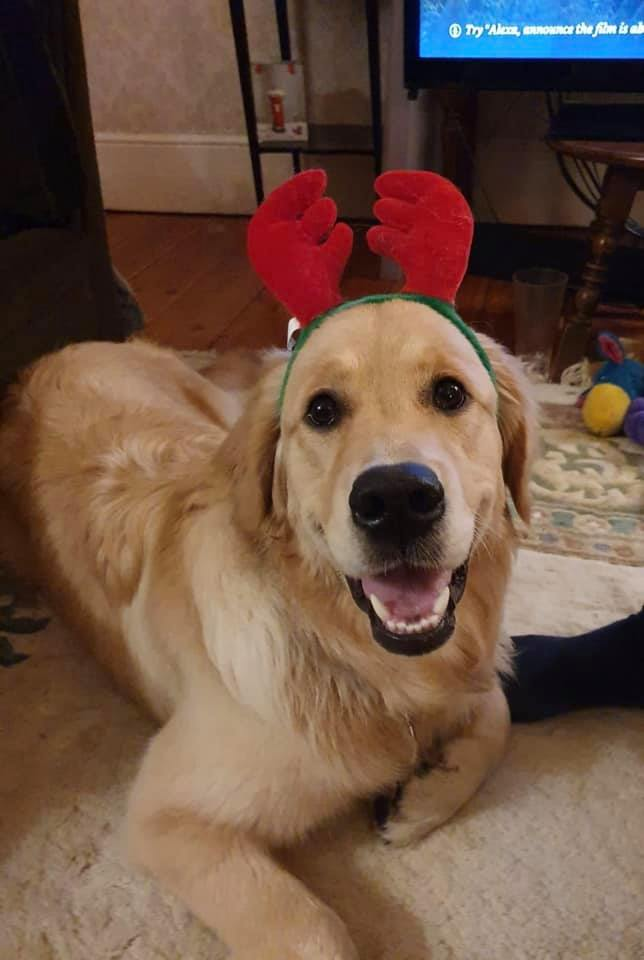 Festive Golden retriever