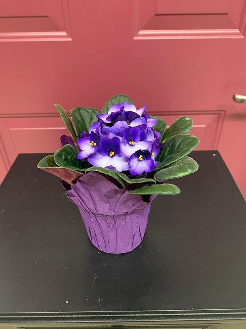 """African Violets 4"""""""