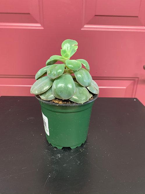 """Succulent Echeveria 4"""""""