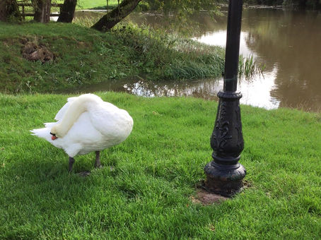 You can't rush a good preen ... swans mate for life and this pair live on the river by Daisy Lodge