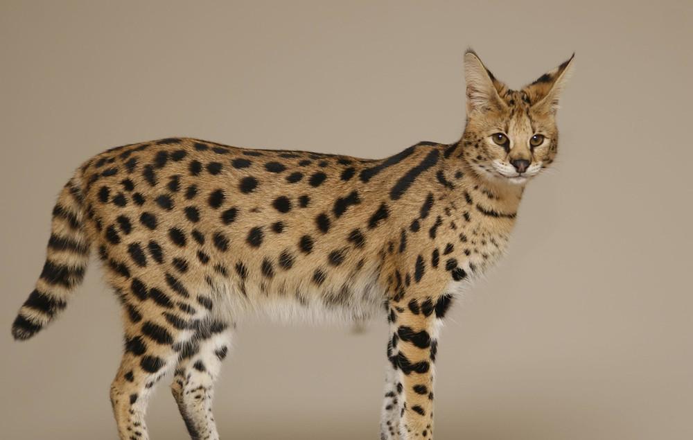 Savannah-Cat-Images.jpg
