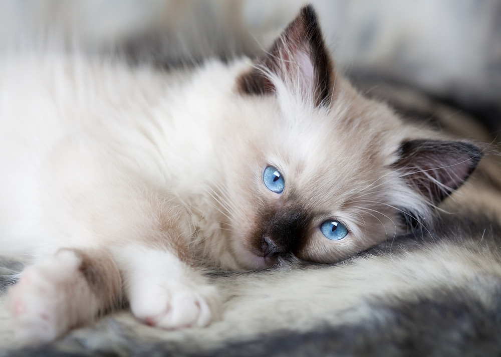 American-Ragdoll-Cat-Wallpaper-HD.jpg