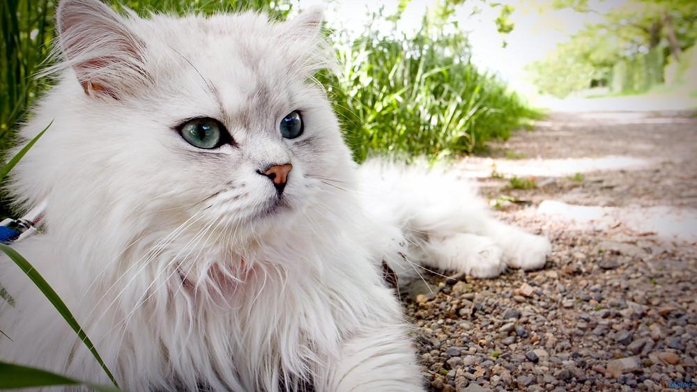 super-cute-persian-cats-hd-fluffy-persian-cat-hd-desktop-backgrounds-wallpaper-f