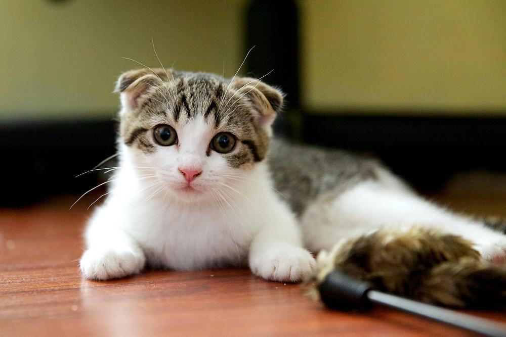 Animals___Cats_Small_Scottish_Fold_cat_on_the_floor_045678_.jpg