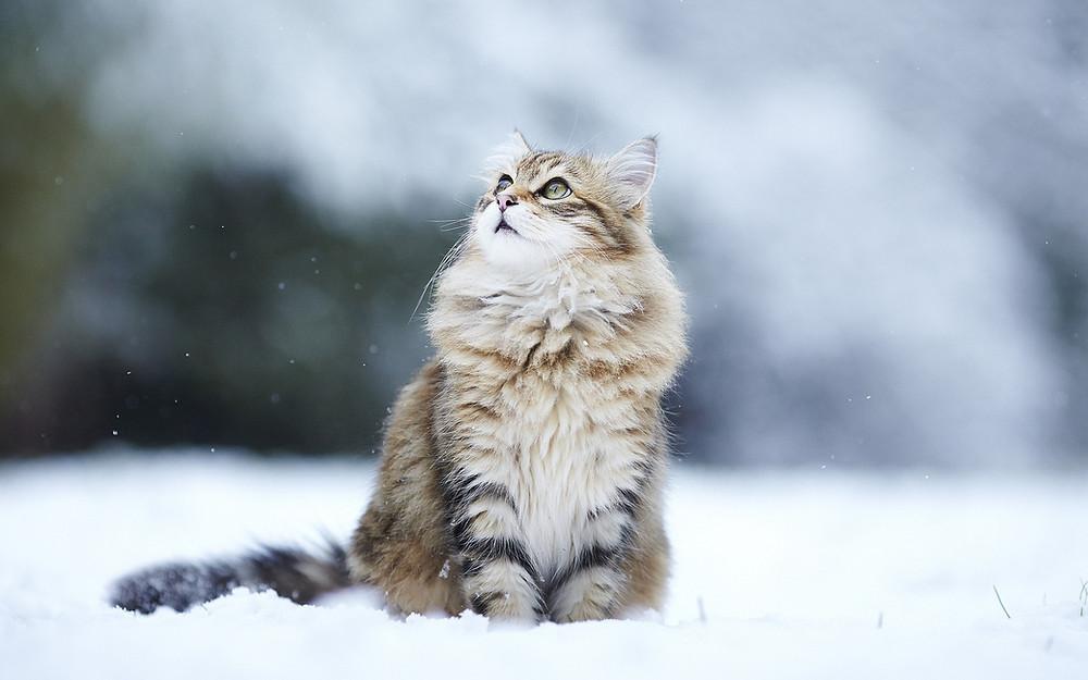 siberian-cat8.jpg
