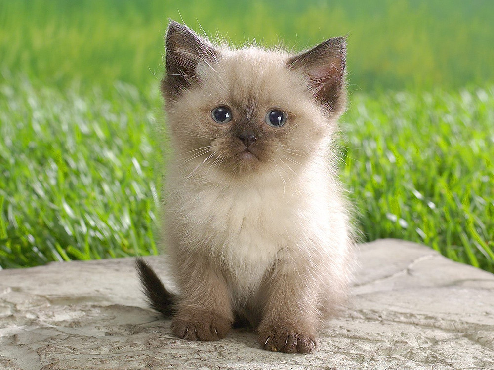 Himalayan_Kitten.jpg