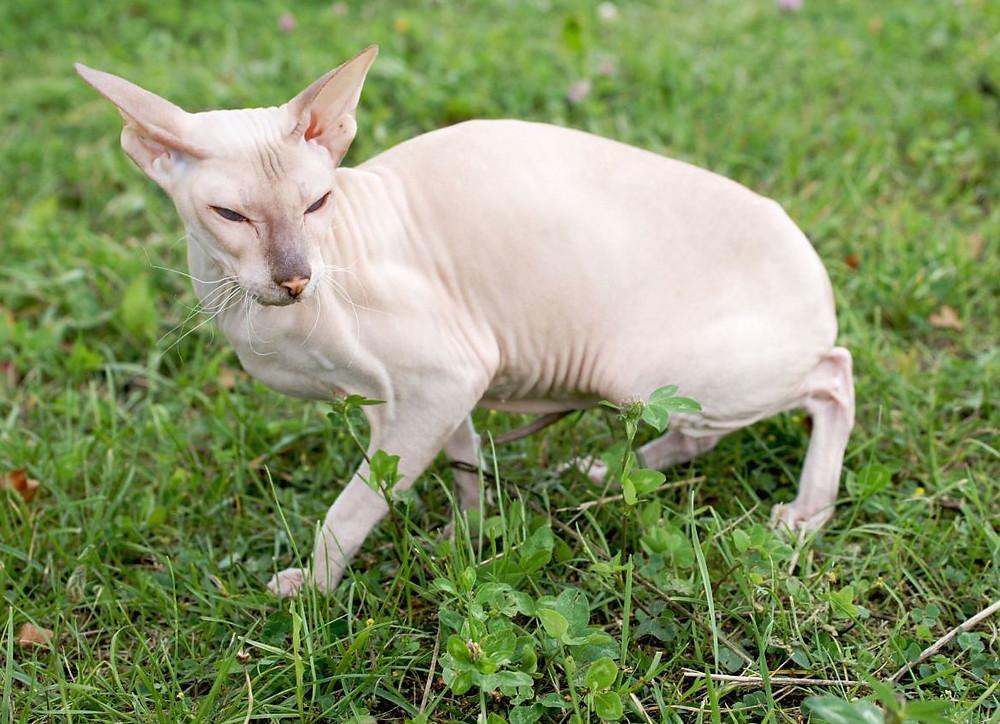 the-delightful-peterbald-an-extraordinary-hairless-cat-51f94e32c2132.jpg