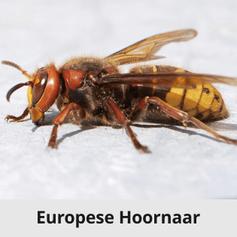 Europeese Hoornaar