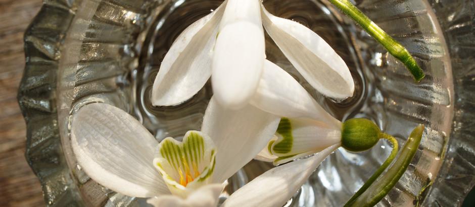 Die Blütenessenz des echten Schneeglöckchens