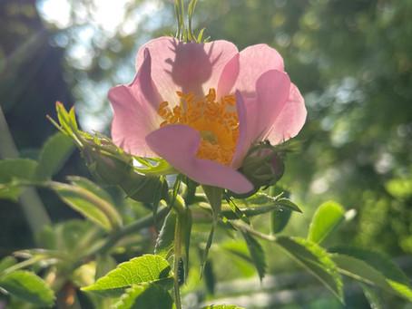 Vom Zauber der Rose