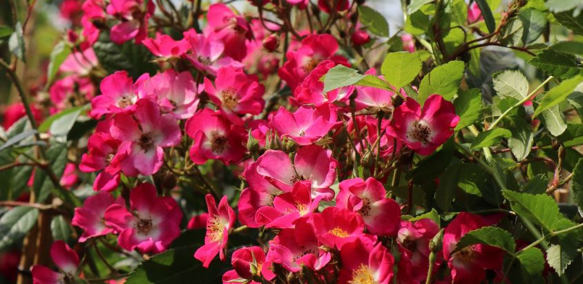Rosenzauber, Gemüsefülle und Natürlichkeit