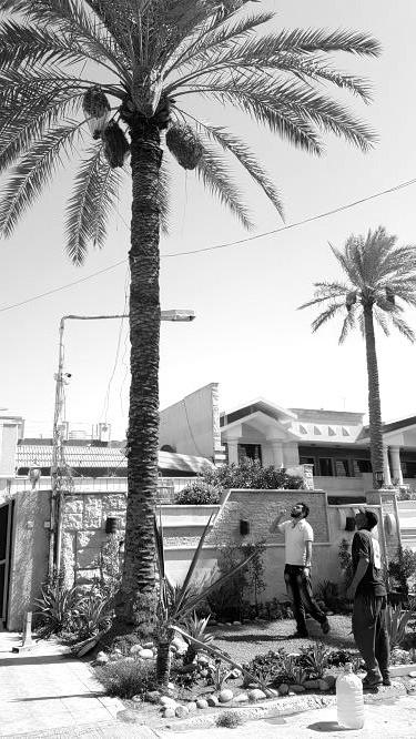 15 Millionen Palmen gibt es im Irak, einige Hundert werden bereits verwaltet. Bild: Sinan Salaheddin Mahmoud