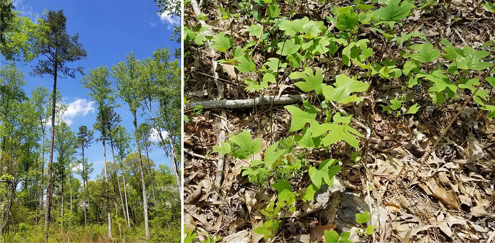 Seed tree harvest in Cabarrus County, North Carolina