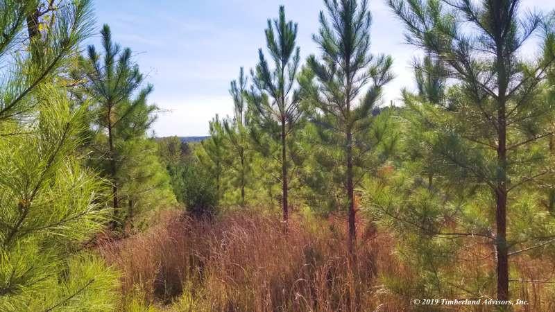 loblolly pine low-density planting