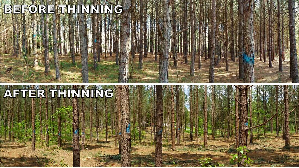 A thinned Cabarrus County, North Carolina loblolly pine stand.