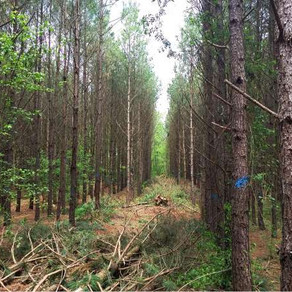 Thinning Pine For Profit, Health, and Wildlife