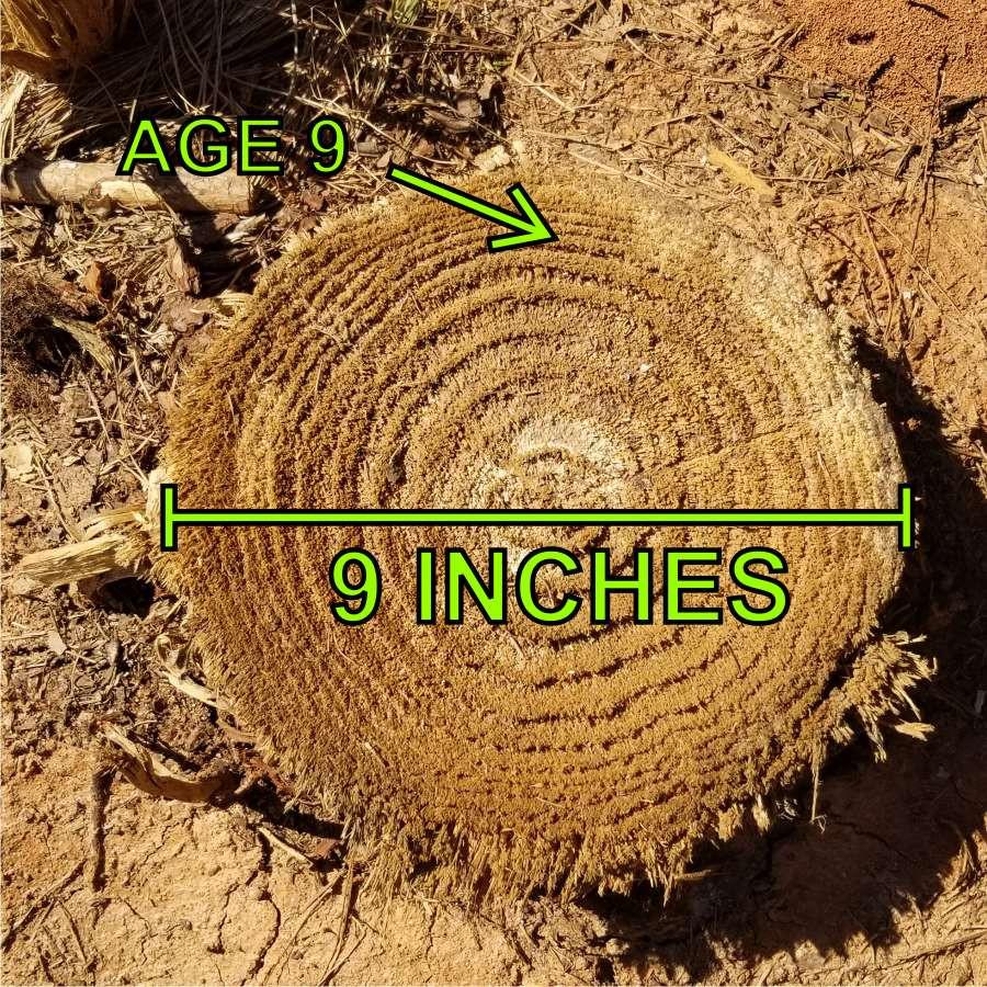 Loblolly pine stump with slow diameter growth