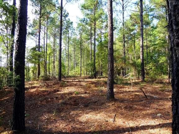 Pine Second Thinning