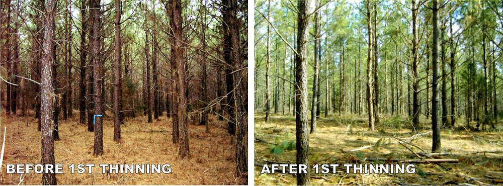 loblolly pine thinning