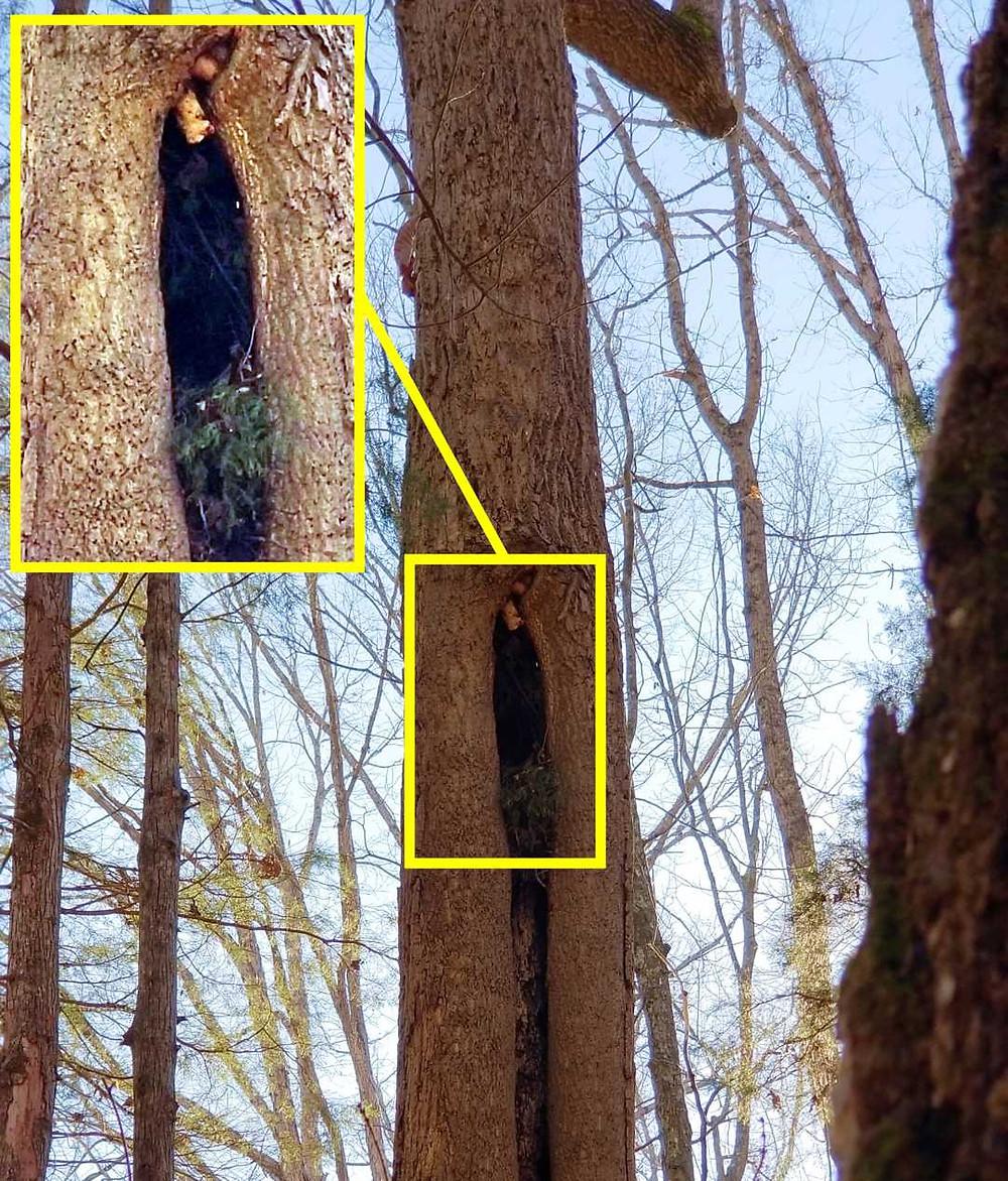 Owl's nest in a yellow poplar tree