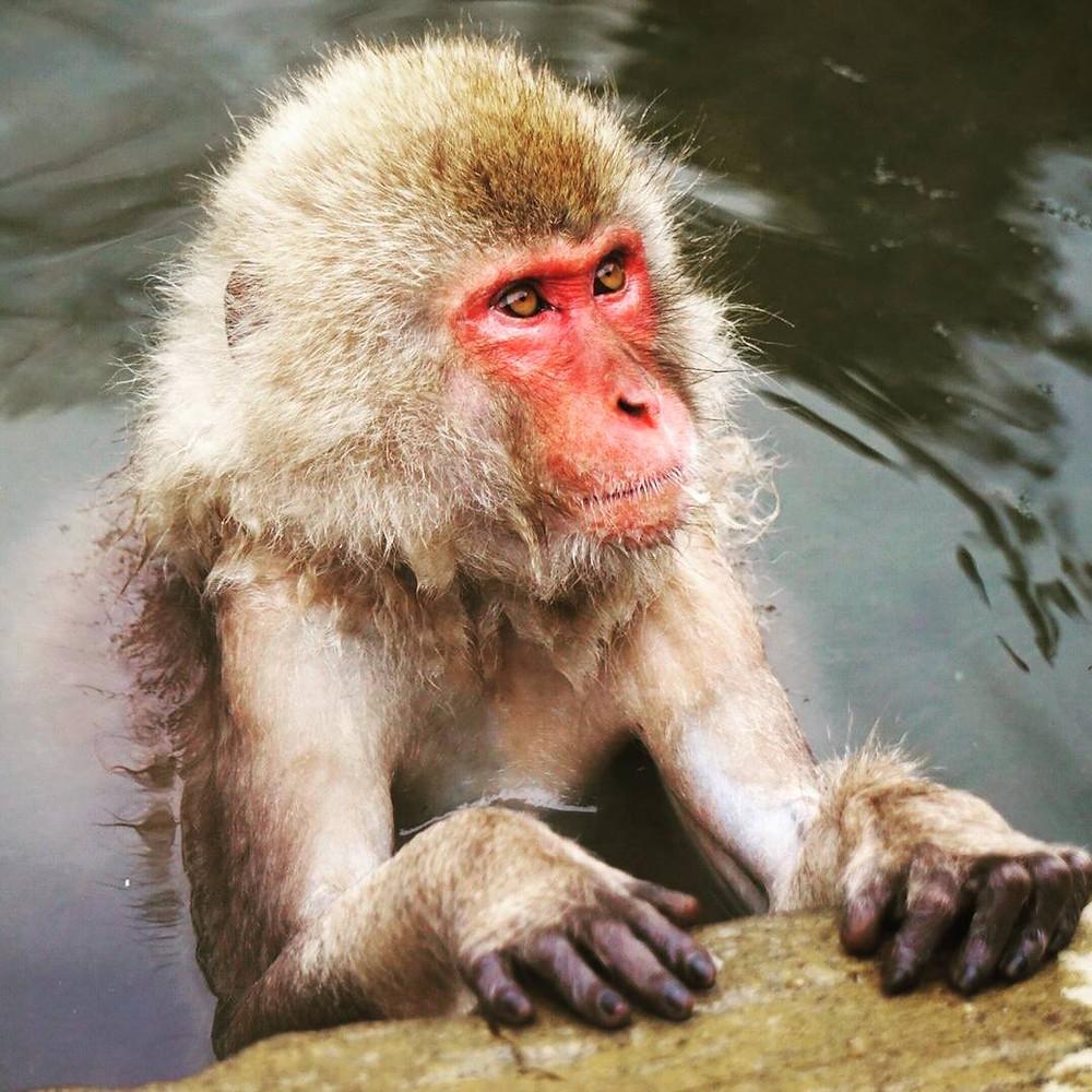 Snow Monkeys bathing in an onsen in Japan