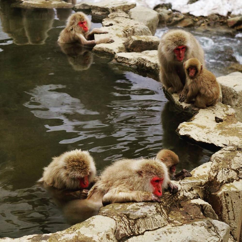 Wild Monkeys in Japan