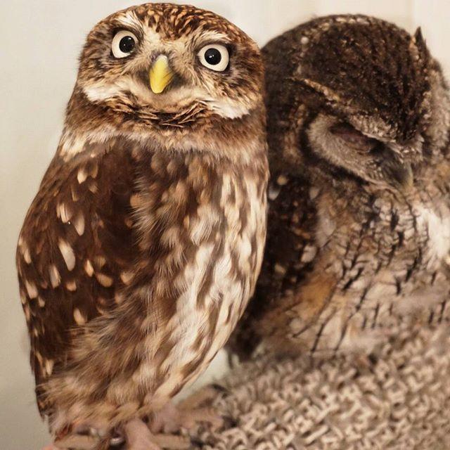 Wildlife Owls in Tokyo, Japan