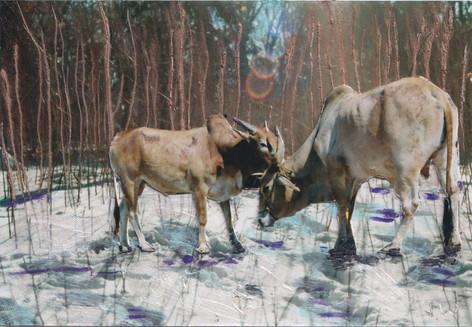 Goan Cows in Berlin Snow