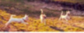 """Купить чихуахуа в Екатеринбурге / """"щенки чихуахуа в Екатеринбурге / питомник / Чинтамани""""."""