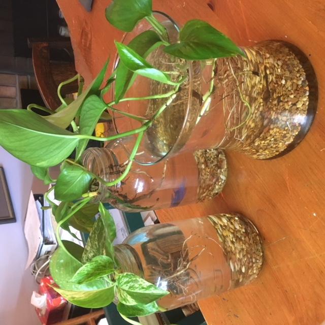 Aquaponics Plants & Betta Fish