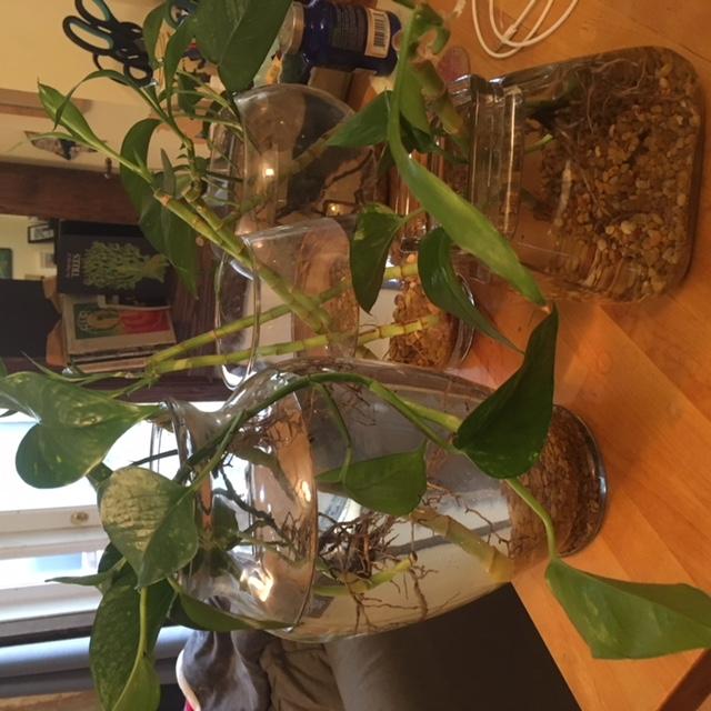 Aquaponics: Plants with Betta Fish
