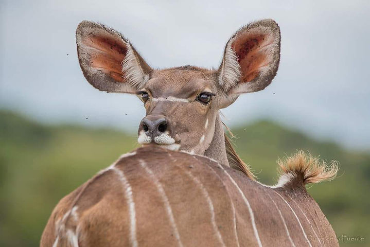 Kudu Cow Seen On Africa's Leading Conservation Project