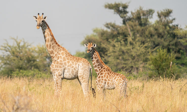 mom and baby giraffe.jpg