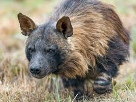 Camer Trap Footage Of Brown Hyena